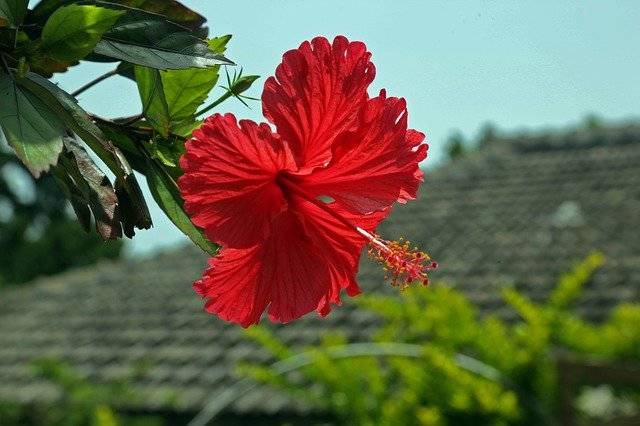 Hibiscus Hashigo梧 Okinawa - Free photo on Pixabay (768669)