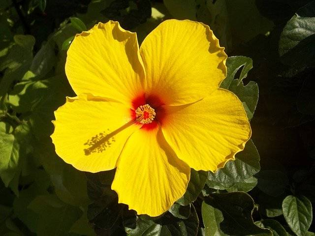 Hibiscus Yellow Flower Rosa - Free photo on Pixabay (770380)
