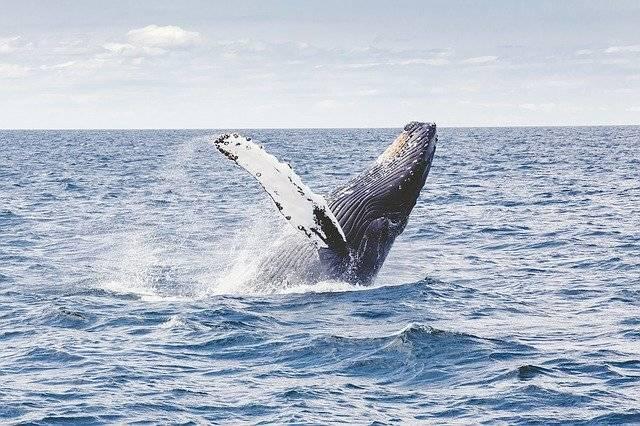 Humpback Whale Marine - Free photo on Pixabay (771066)