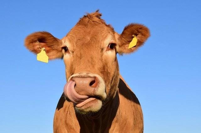 Cow Head - Free photo on Pixabay (772861)