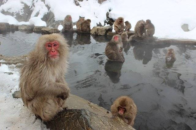 Snow Monkeys Macaque Japanese - Free photo on Pixabay (774240)