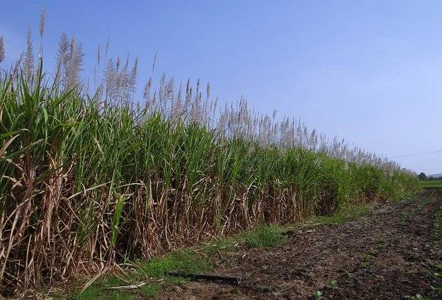 Sugarcane Inflorescence Flowers - Free photo on Pixabay (775577)