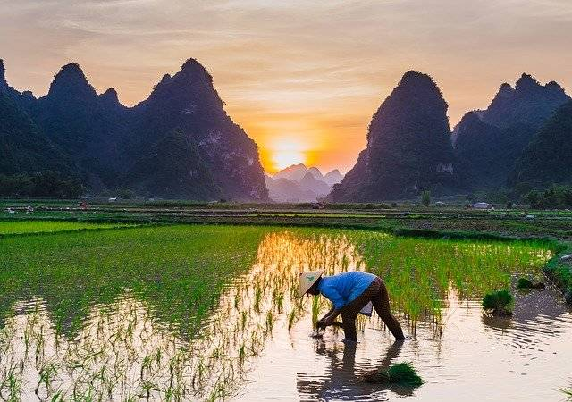 Rice Cultivation Fields - Free photo on Pixabay (776701)
