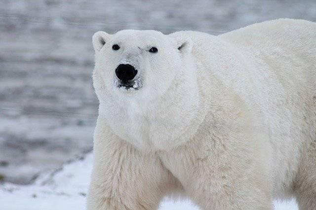 Polar Bear Arctic Wildlife - Free photo on Pixabay (777774)