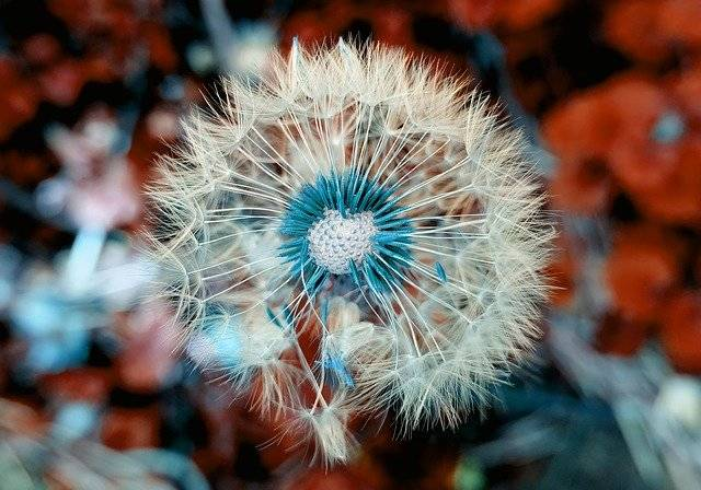 Dandelion Plant Close Up - Free photo on Pixabay (780060)