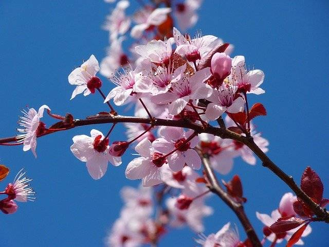 Almond Blossom Cherry - Free photo on Pixabay (781677)